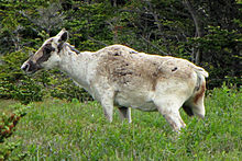 competition between caribou herd to mate is an example of