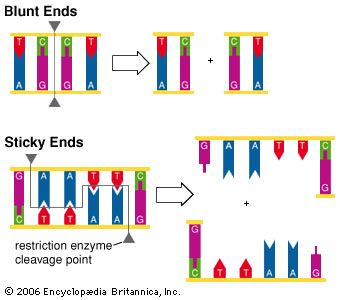 example of blunt end restriction enzymes