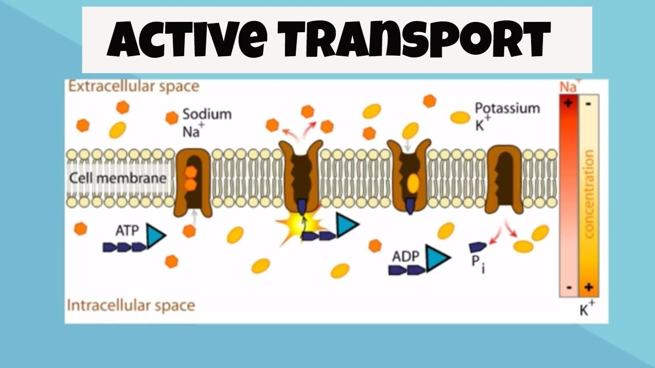 endocytosis is an example of what type of transport