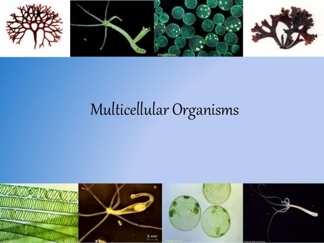 what is a unicellular organism example
